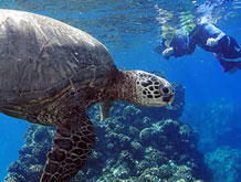 Maui Hawaii Best Turtle Snorkel Tour