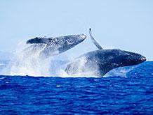 Top Maui Whale Watch Cruise