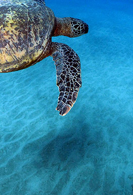 Turtle Best Maui Hawaii Molokini Snorkel Cruise
