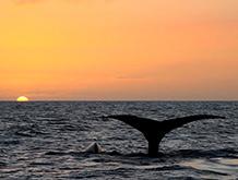 maui sunset whale watching
