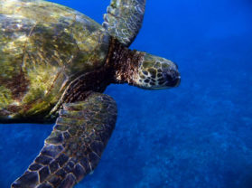 Maui Hawaii top Snorkel Location Turtle Town